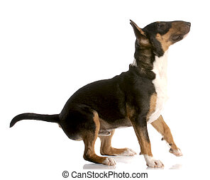 bull terrier puppy ready to jump up with reflection on white background