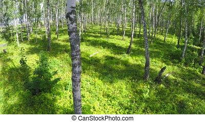flying through summer birch forest