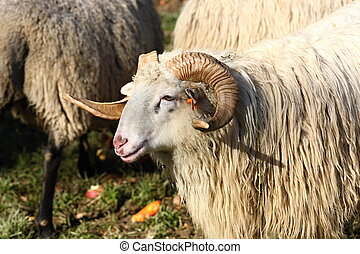 Ram - Old ram with large curly horns