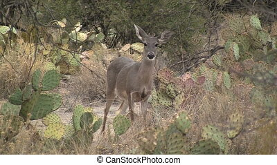 Whitetailed Deer In Sonoran Desert - Whitetailed Deer in...