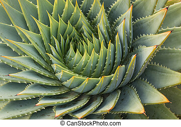 cacti leaves spiral - close up of aloe vera leaves