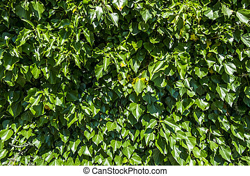 Background of green foliage in sunnyday - Background of...