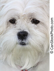 White dog face close up - Close up, face view of a pretty...