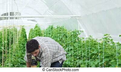 Guy worker in a greenhouse smiling directly at the camera....