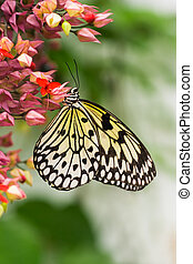 Paper kite butterfly - vertical image - Tropical Paper kite...