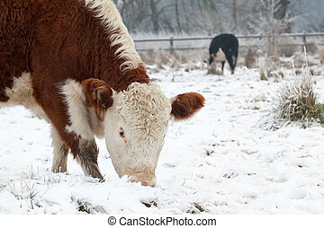 cows grazing in a wintry field
