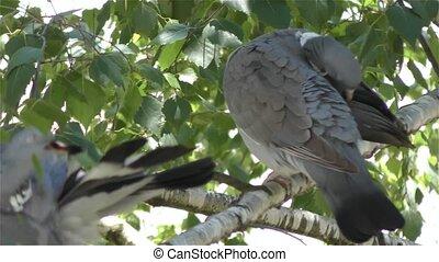 Pigeon in 4K UHD 2160