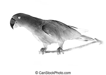 Black and white portrait of Chattering Lory Lorius standing...