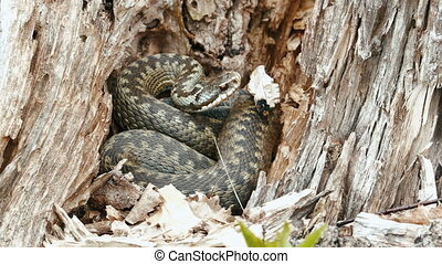 Viper Vipera Berus Poisonous Snake in a Dry Stump, Shot in...