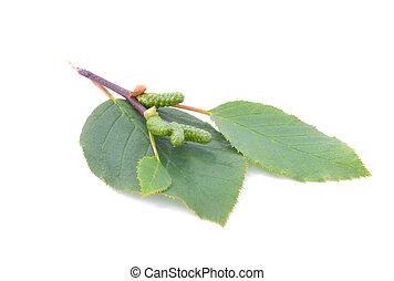 feuilles,  Isola, vert,  cônes, aulne