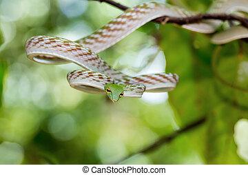 Asian Vine Snake Ahaetulla prasina - Oriental Whipsnake or...