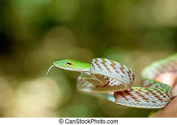 Asian Vine Snake (Ahaetulla prasina) - Oriental Whipsnake or...