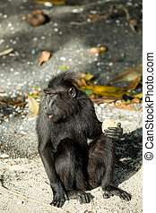 portrait of Celebes crested macaque, Sulawesi, Indonesia -...