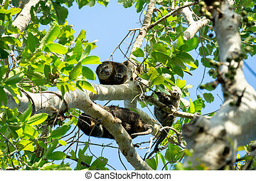 Endemic Sulawesi Cuscus bear on the tree. Tangkoko national...