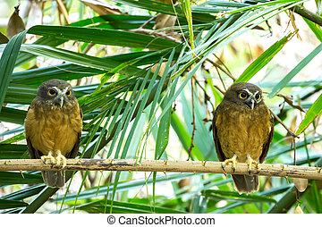 Ochre-bellied Boobook Ninox ochracea in Sulawesi, Indonesia,...