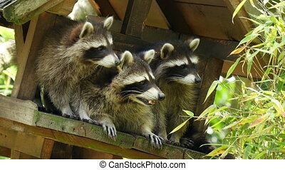 Three North american raccoon procyon lotorplaying in...
