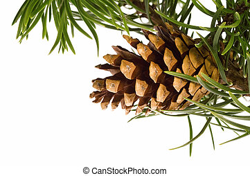 Isolated pine branch with cone