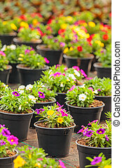 Potted blooming violas in a greenhouse