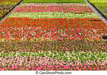Rows of blooming violas in a greenhouse