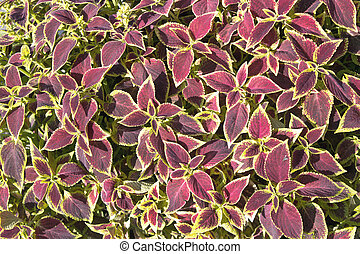 Floral of Coleus (Painted Nettle) plant as background