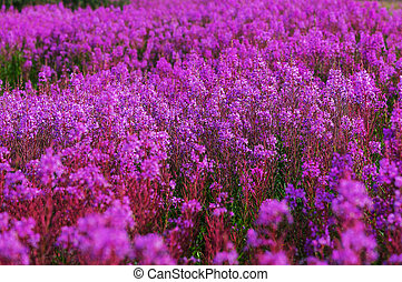 Flowers on Alaska - Meadow in Alaska