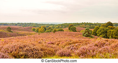 Panoramic image of blooming heathland at the Veluwe national...