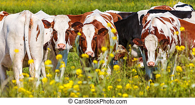 Panoramic image of dutch dairy cows in summer with yellow...