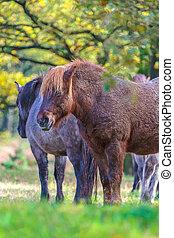 Wild konik horses in a Dutch forest - Wild konik horses in...