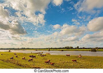 Farmland alongside the Dutch river IJssel - Farmland with...