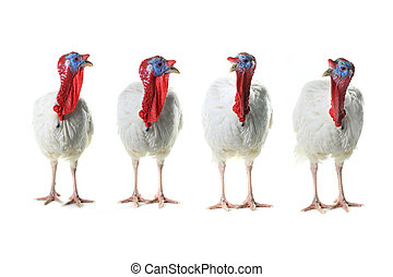 Turkeys isolated on a white background Studio