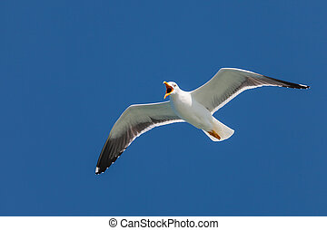 Screeching seagull with a deep blue sky - Screeching flying...