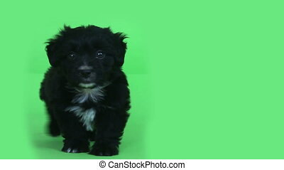 young cute dog green screen