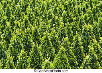 Industrial growth of sculpted green buxus trees