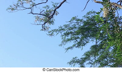 Acacia branches with sky view