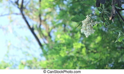 white summer tree flower background