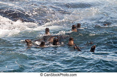 Cape fur seals in the water of the shore of Seal Island in...