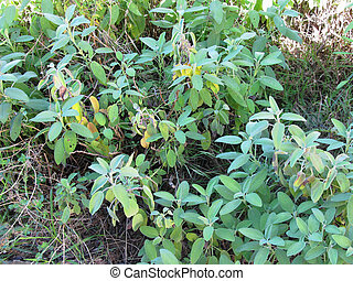 Sage plant in a garden in Tuscany, Italy