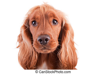 Baby Cocker Spaniel isolated over white