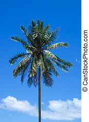 The coconut tree with blue sky.