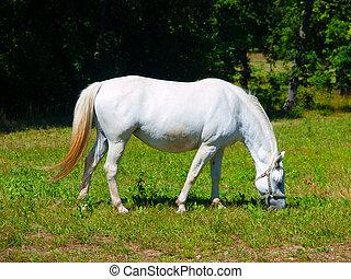 White Lipizzaner grazing - White Lipizzaner stallion grazing...