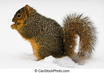 Fox Squirrel Eating A Nut In Snow - Fox Squirrel Eating A...