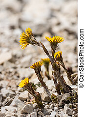 closeup of coltsfoot flowers in bloom