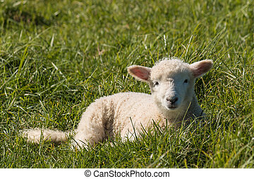 lamb resting on grass - close up of lamb resting on grass