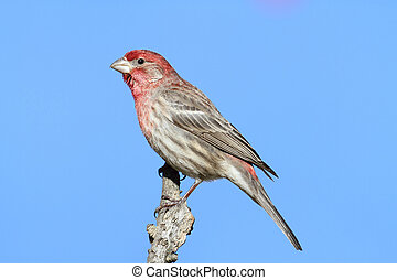 Male House Finch (Carpodacus mexicanus) perched with a blue...