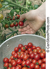 Picking Garden Cherry Tomatoes - Close up of a female hand...