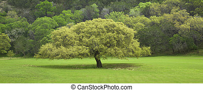Texas Live Oak tree in springtime - A Texas Live Oak tree in...