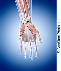 the hand muscles - medically accurate illustration of hand...