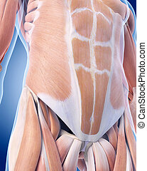 The abdominal muscles - medically accurate illustration of...