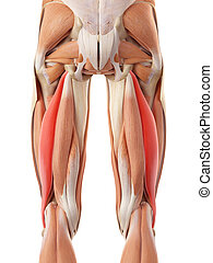 The biceps femoris longus - medically accurate illustration...