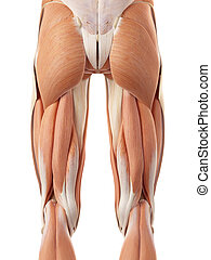 The posterior leg muscles